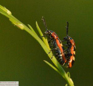 Asparagus Beetles