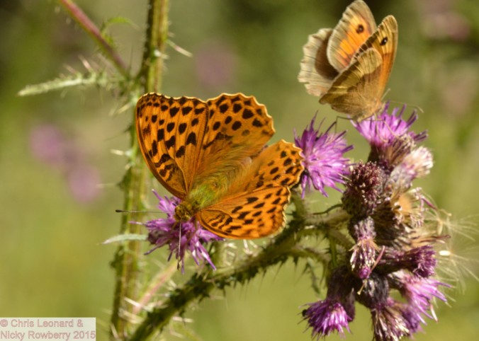Silver Washed Fritillary & Meadow Brown.jpg