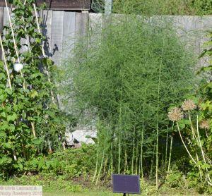 Asparagus Forest