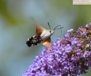 Humming Bird Hawkmoth 3