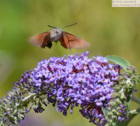 Humming Bird Hawkmoth