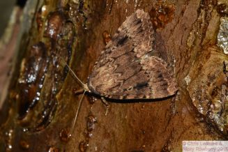 Copper Underwing on sugared tree