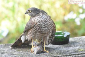 Sparrowhawk 4