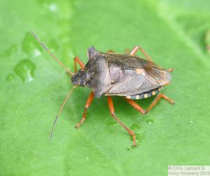 Red Legged Shieldbug
