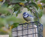 Blue Tit on Suet Feeder