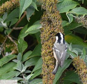 Coal Tit on Buddleia