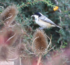 Coal Tit on Teasel