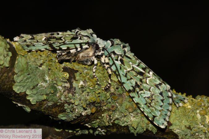Merveille du Jour moths