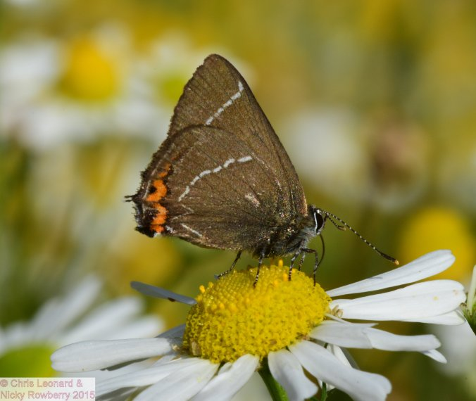 White Letter Hairstreak