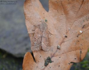 Common Quaker 2