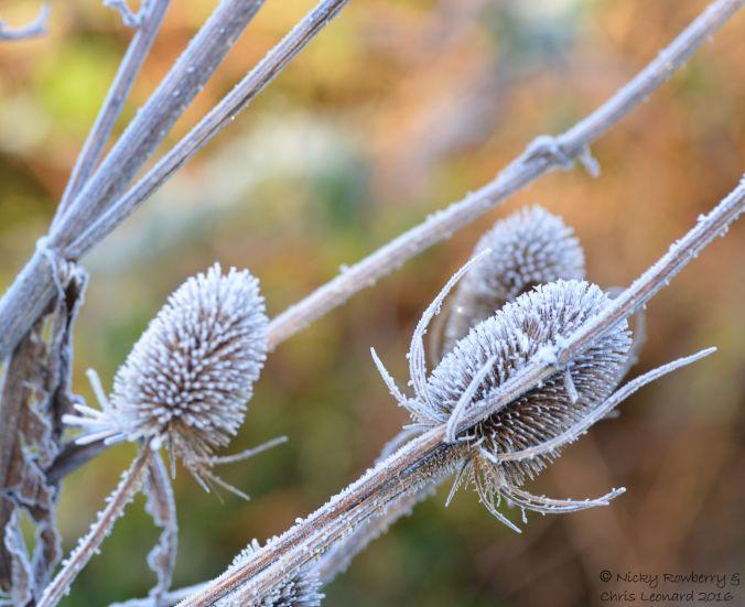Frosty teasel