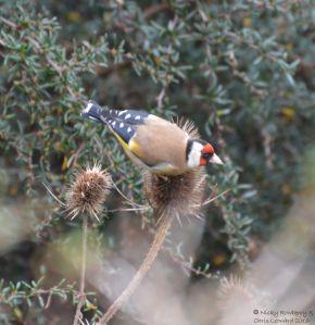 Goldfinch 2
