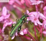 Swollen Thighed Beetle