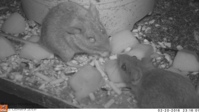 Two mice trail cam image