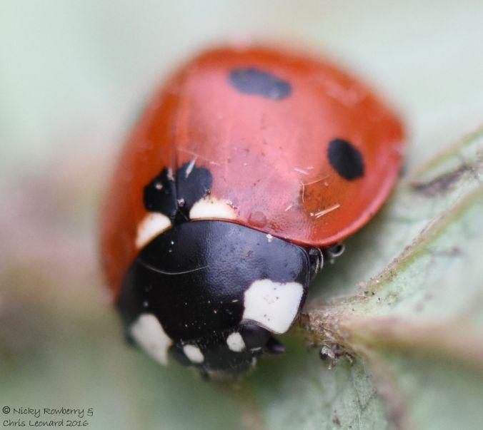 7 spot ladybird 2