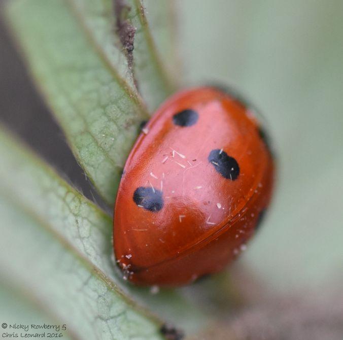 7 spot ladybird 3