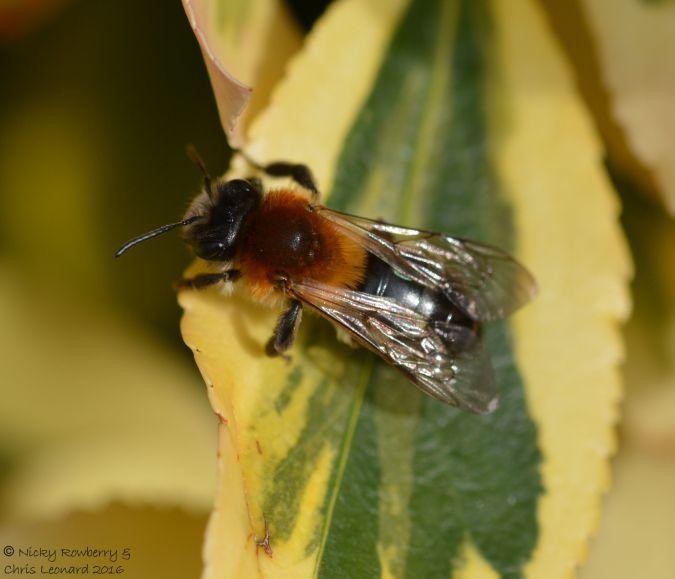 Andrena nitida