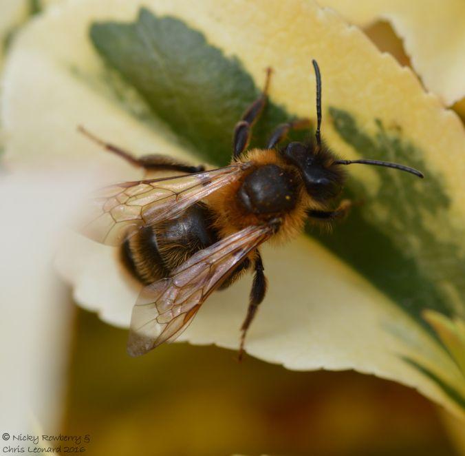 Andrena scotica