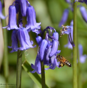 Bee on bluebell (1)