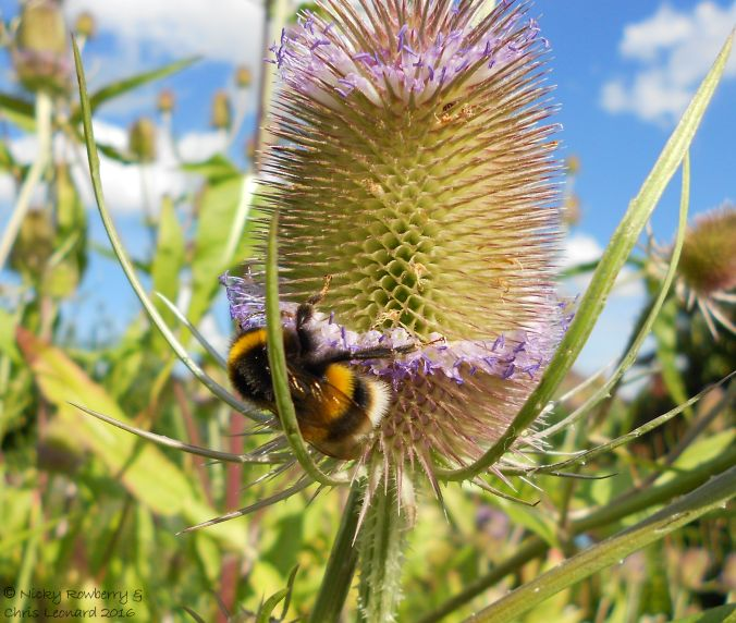 Bees on Teasels 2