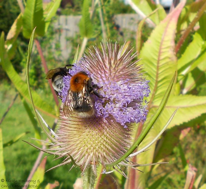 Bees on Teasels