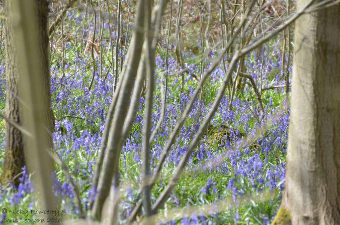 Bluebells (7)