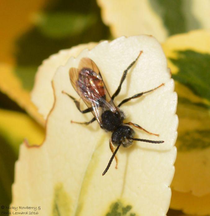 Fabricius Nomad Bee