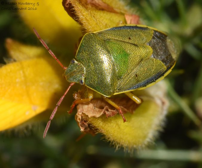 Gorse Shieldbug at Hartlebury (6)