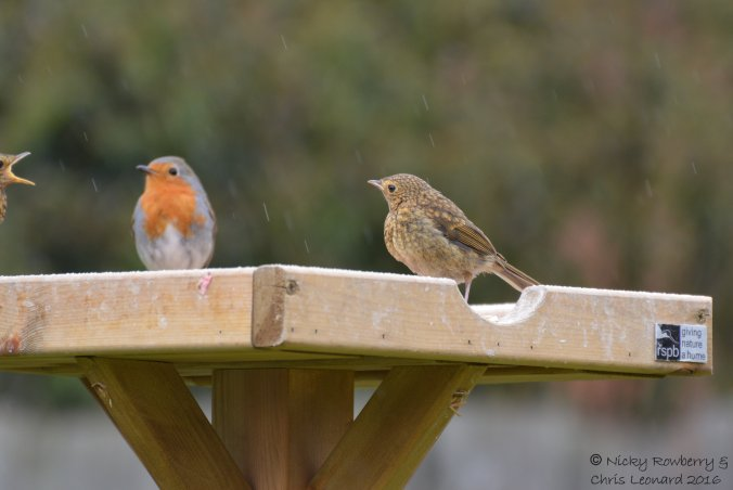 Juvenile robins (1)