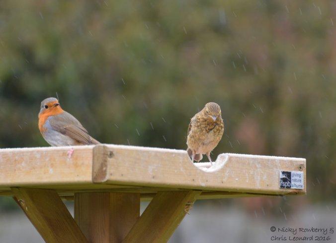 Juvenile robins (7)