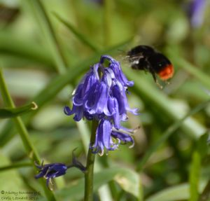 Red tailed bee on bluebell