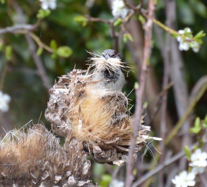 Sparrow nesting material