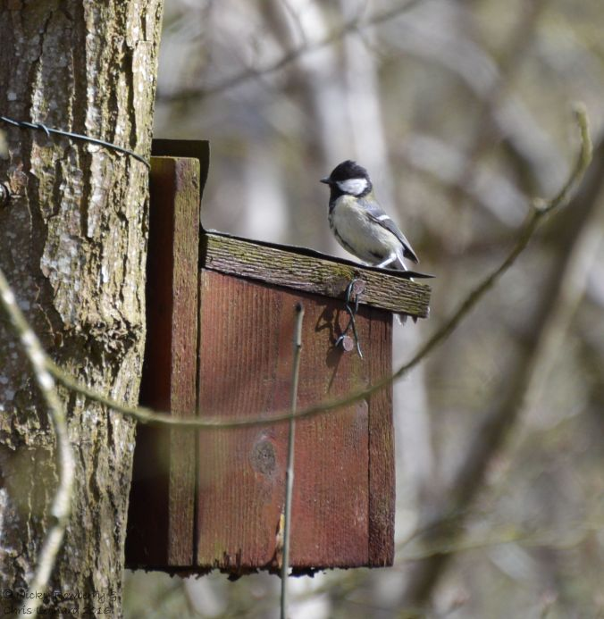 Tit on nesting box