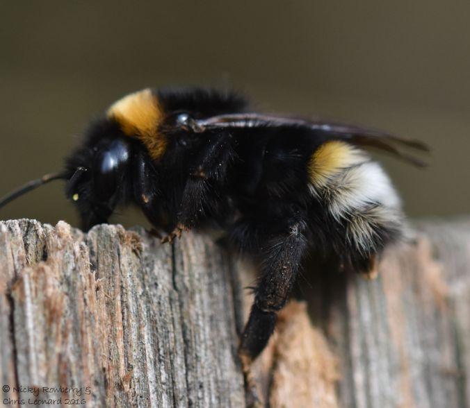 Vestal Cuckoo Bee