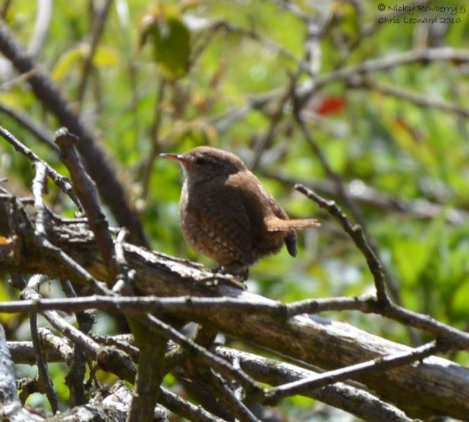Wren at Hartlebury