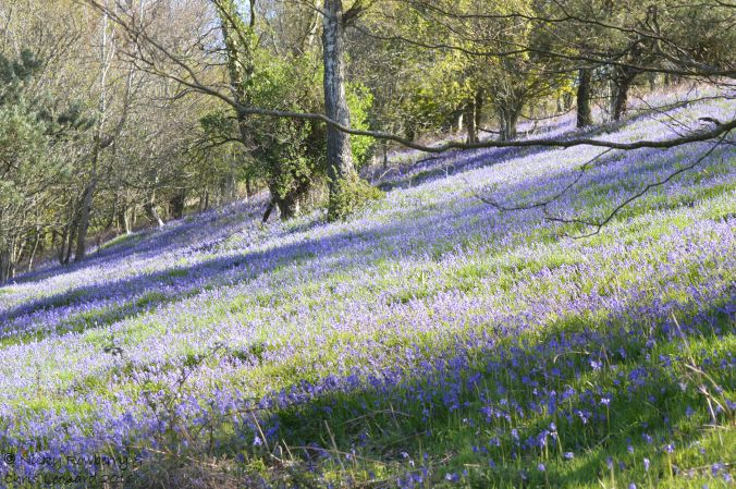 Bluebells on Malvern 2