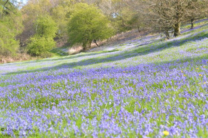 Bluebells on Malvern 6