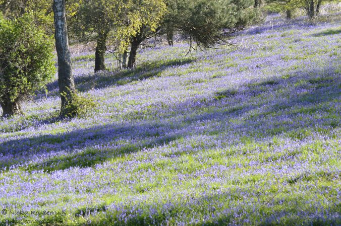 Bluebells on Malvern