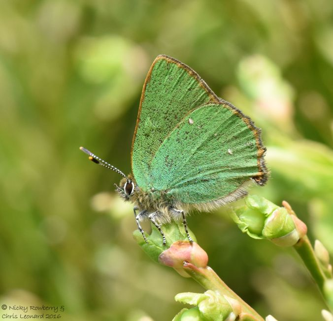 Green Hairstreak 5