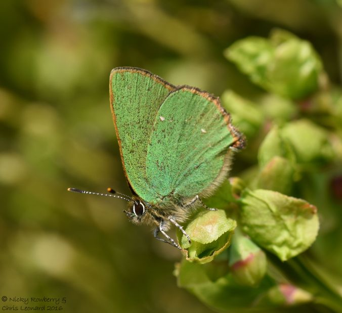 Green Hairstreak 6