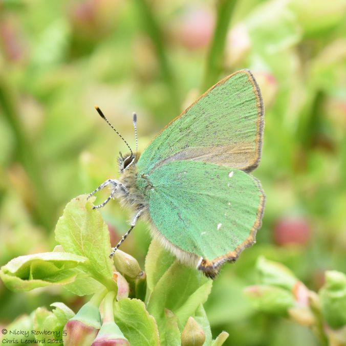 Green Hairstreak 7