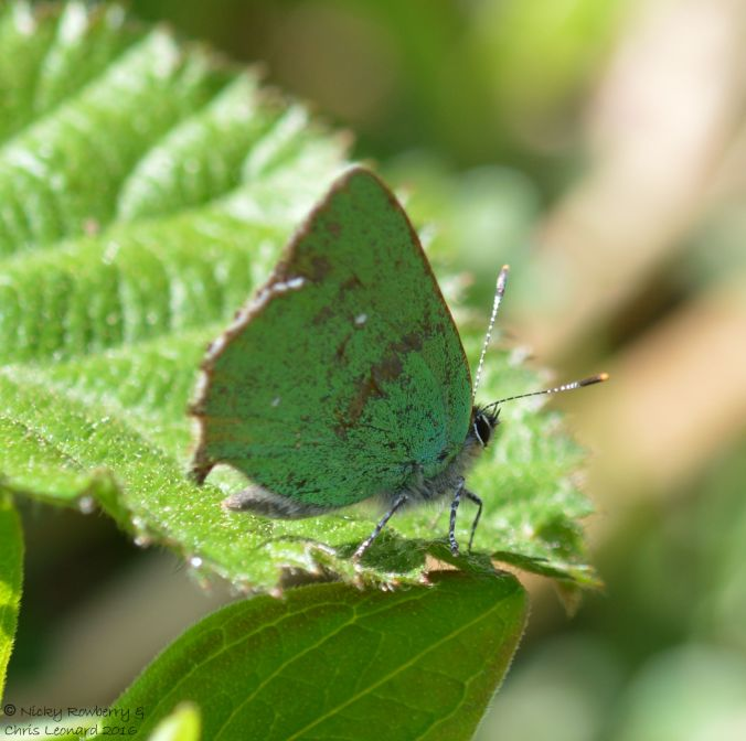 Green Hairstreak Penny Hill Bank
