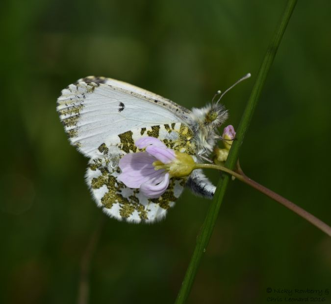 Orange Tip laying eggs