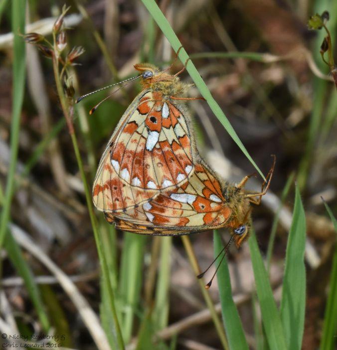 Pearl Bordered Fritillary mating