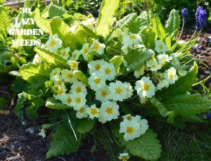 Primroses 30 WEEDS