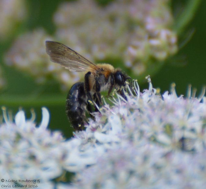 Andrena nitida Grey patched mining bee