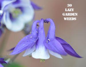 Aquilegia 30 WEEDS