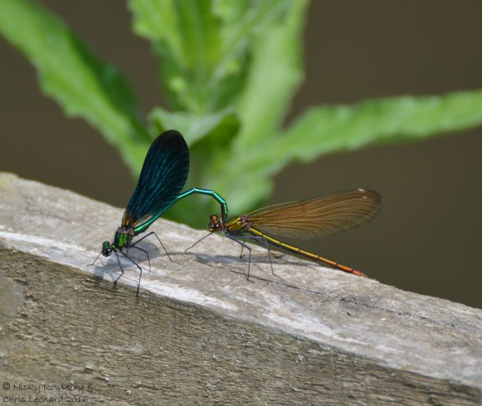 Beautiful Demoiselles Aymestrey