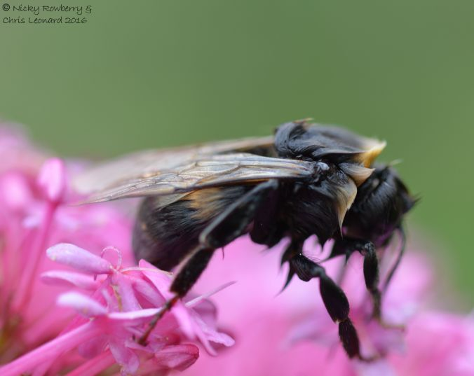 Bedraggled bee