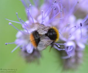Bee on Phacelia